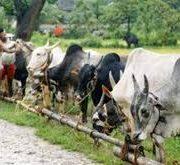 Cattle E-Commerce